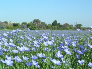 Beautiful Linseed