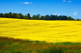 Rapeseed-Bruce-Ontario-Flickr-by-bark[1]